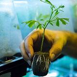 Himiko Organics ヘンプの苗