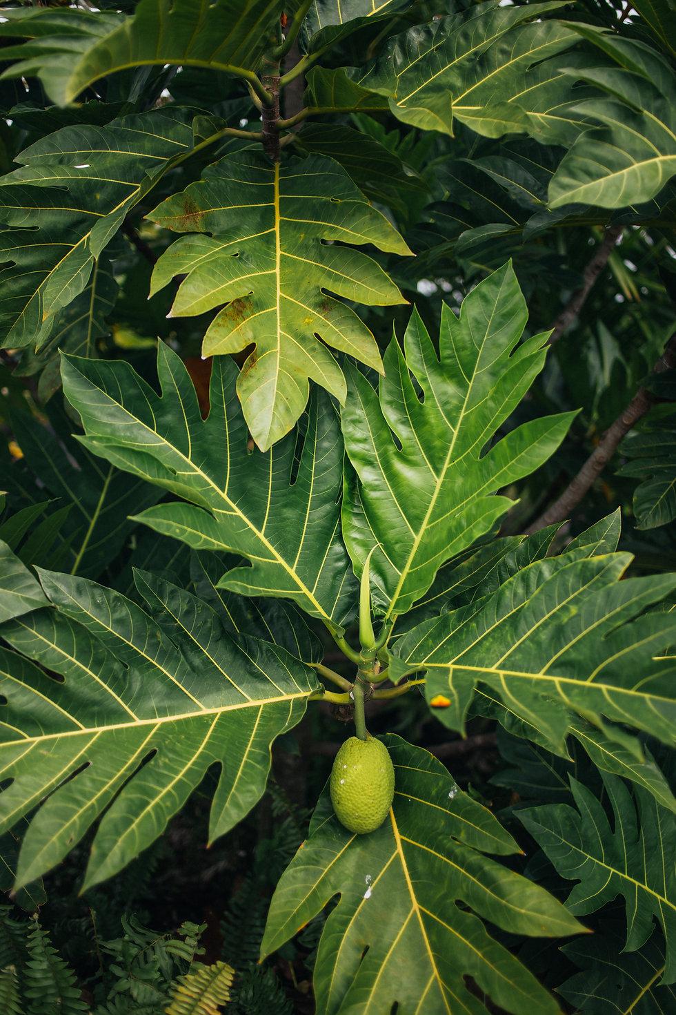 Himiko Organics Ululoa Leaf