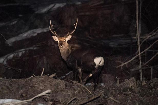 道路わきでバッタリ、大型のオス鹿