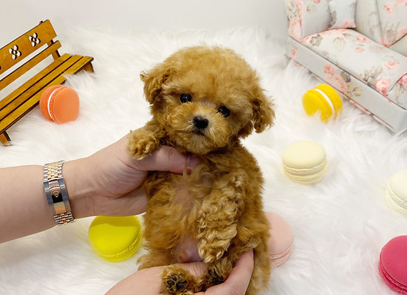 Teacup Poodle - Xia