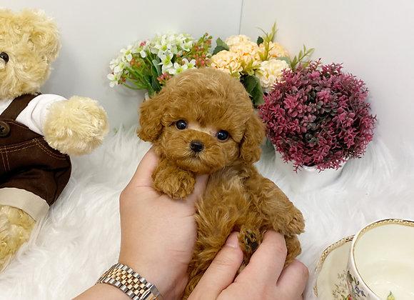 Teacup Poodle - Celine