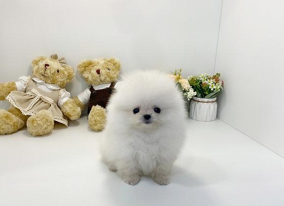 Pomeranian - Ralph