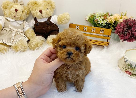 Teacup Poodle - Wendy