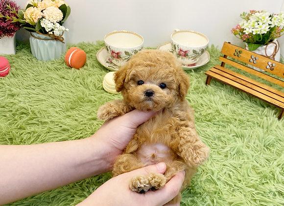 Poodle - Dooly