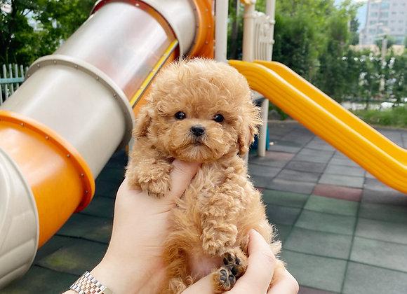 Teacup Poodle - Giselle