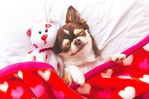 Cute chihuahua puppy sleeping with teddy