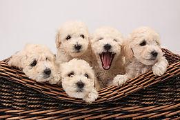 White puppies in a basket.jpg