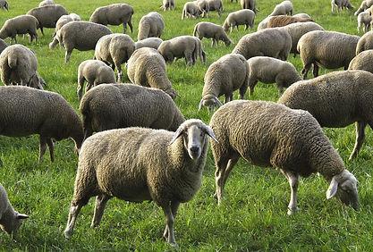 sheep-2852141_1920.jpg