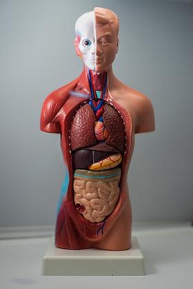Montessori 28cm Tall Human Anatomy Model
