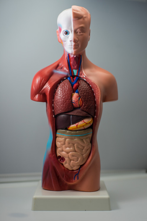Montessori 28cm Tall Human Anatomy Model