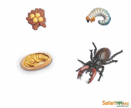 Stag Beetle Life Cycle