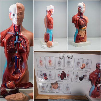 Montessori 28cm Tall Human Anatomy Model with 3-Part Cards