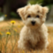 Poodle_Puppy_Wallpaper-300x300.jpg