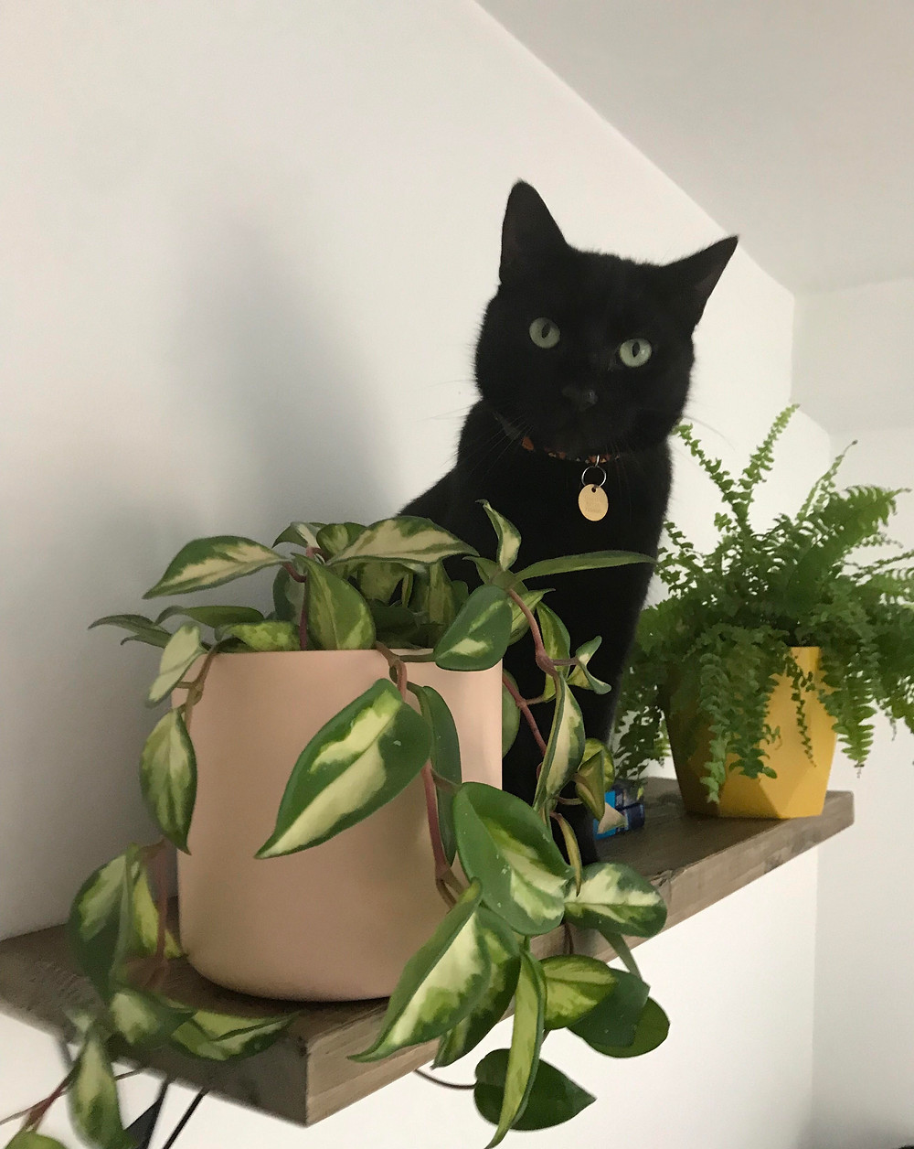 Plastic free, black cat