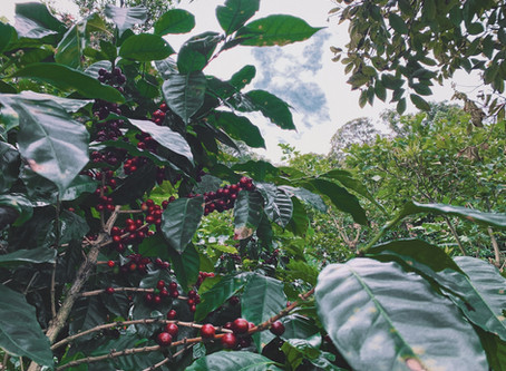 Social Sustainability in Coffee via Gender Equity: Part I