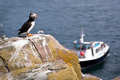 Puffin with Sand eels standing on a rock