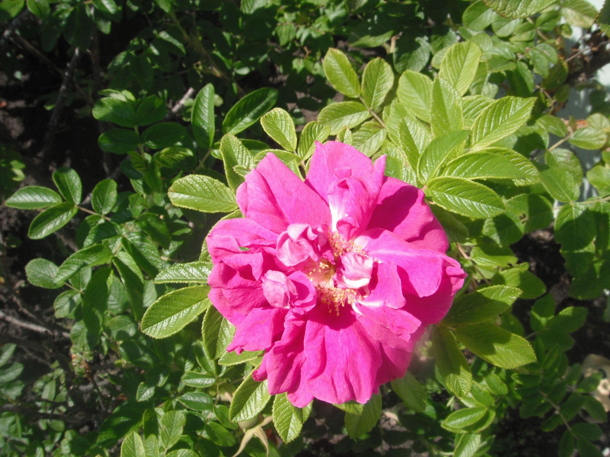 Local Wild Rose