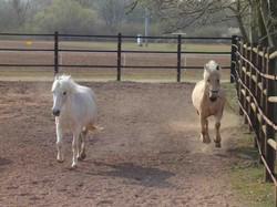 paddock poney