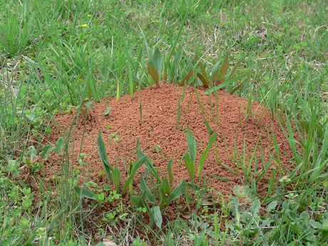 fireant-nest.png