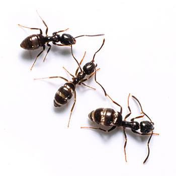 What are odorous house ants?