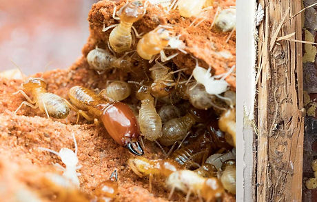 termite-damage-extraction_edited.jpg