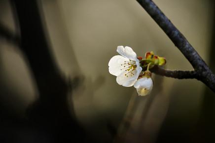 Cerezo- flor- Master.jpg