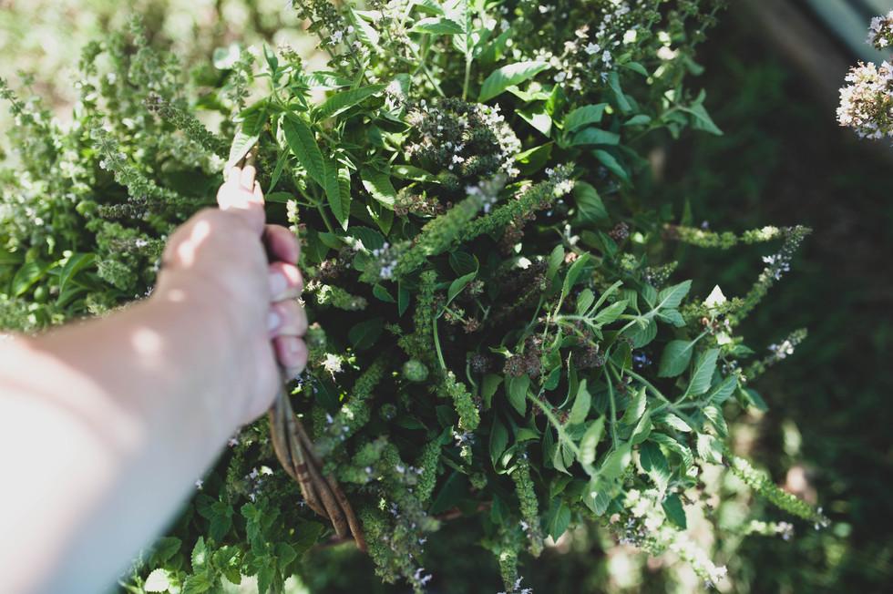 harvesting holy basil