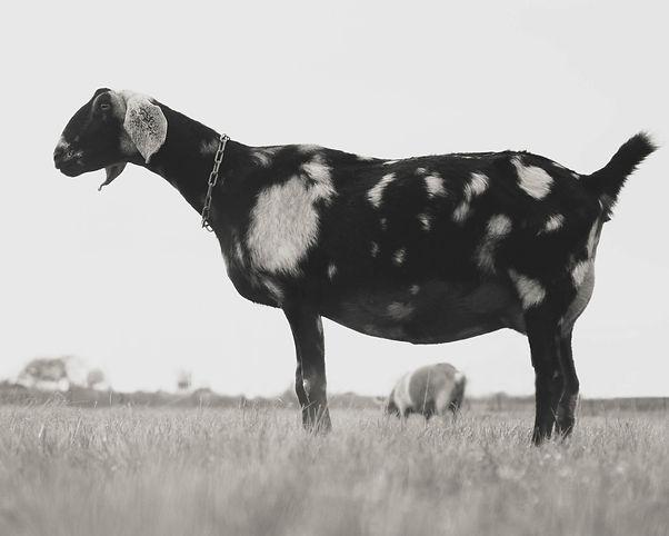 local goat (1 of 1)-11.jpg
