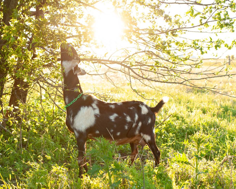 golden hour grazing