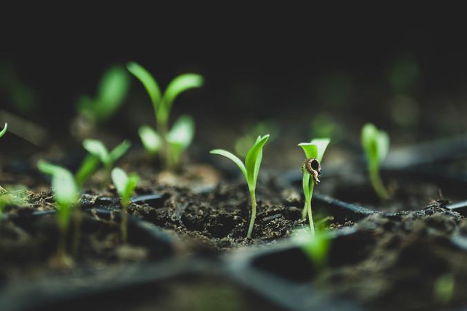 calendula seedlings