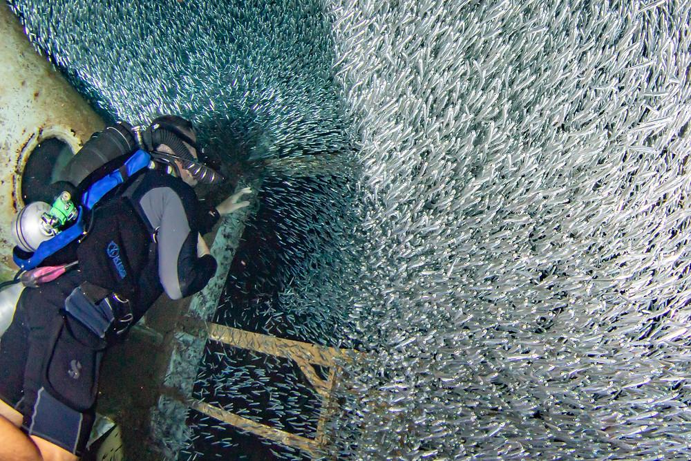 silversides, also known as dwarf herrings, schooling inside the USS Kittiwake.