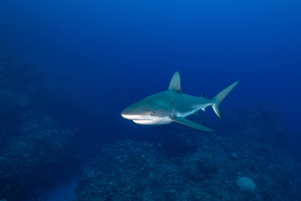 Reef shark, Little Cayman.