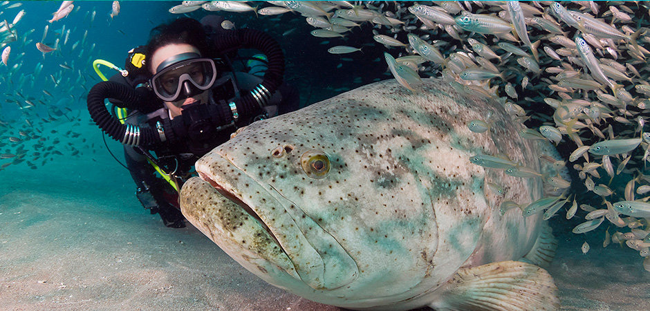 KISS rebreather diver with a goliath grouper