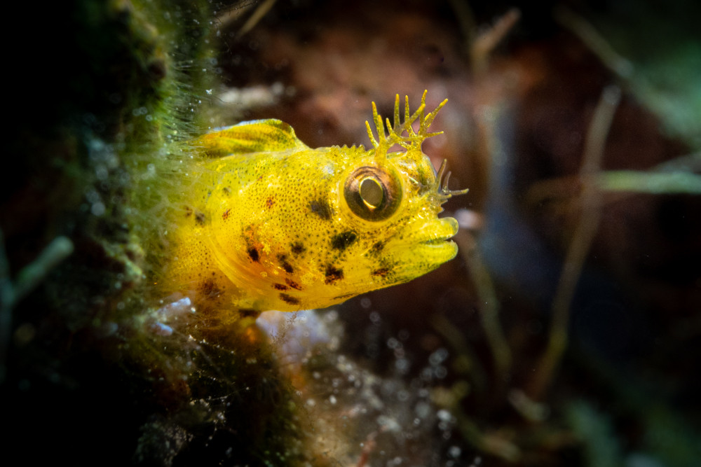 Another tiny blenny using the CMC-1.
