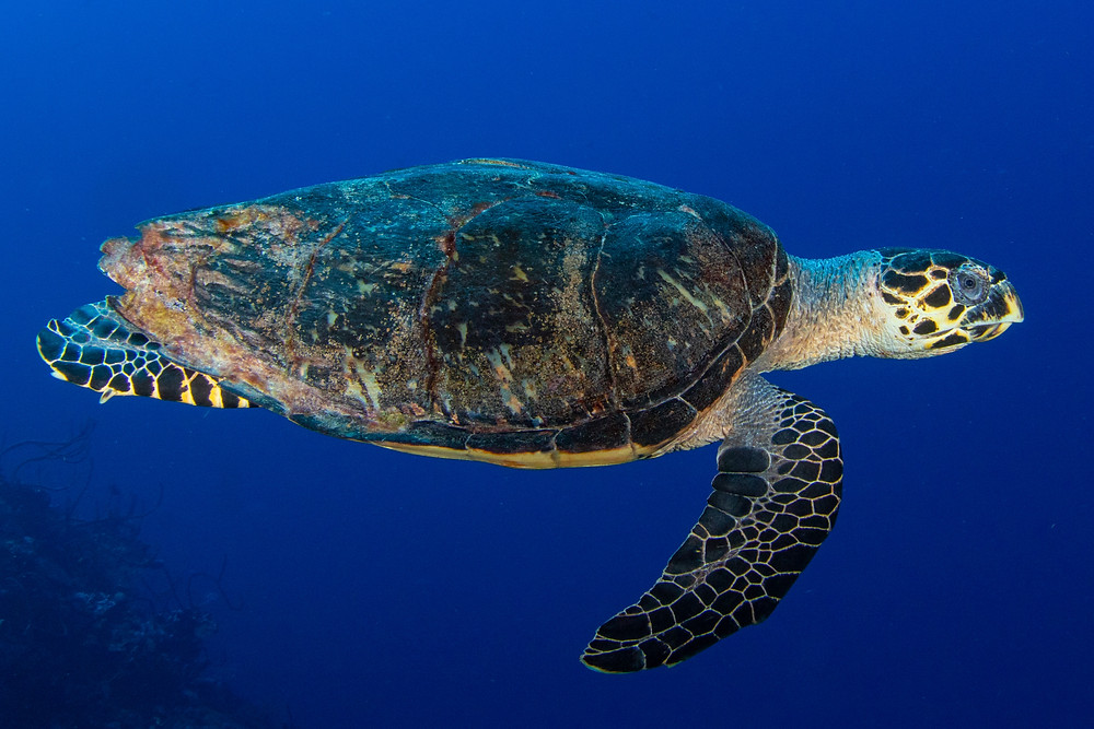 A hawksbill sea turtle on Grand Cayman's northwest point main wall.