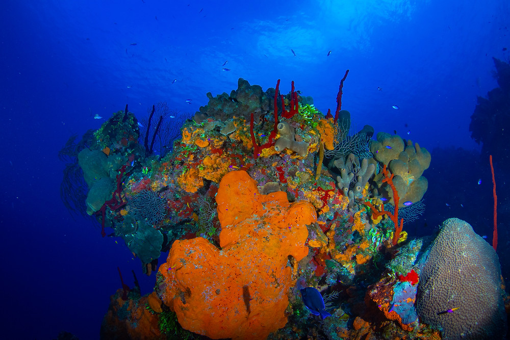 "The elephant ear sponges burst with orange colors on Grand Cayman's dive site ""Orange Canyon."""