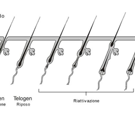 Il ciclo del pelo