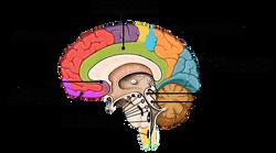 Brain 1_edited.png