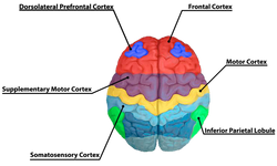 Brain 2_edited.png