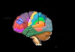 Brain 3_edited.png