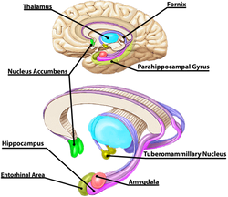 Brain 5 Limbic System_edited.png