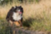 רועה אוסטרלי רץ