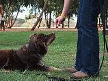 רועה אוסטרלי לוקח חטיף