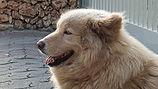 כלב גדול