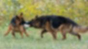 רועים גרמנים משחקים עם כדור