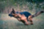 רועה גרמני משחק