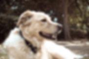 כלבה מעורבת שוכבת