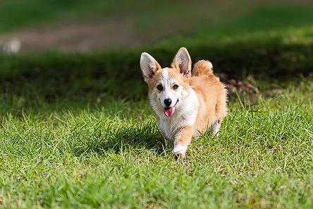 щенок велш корги