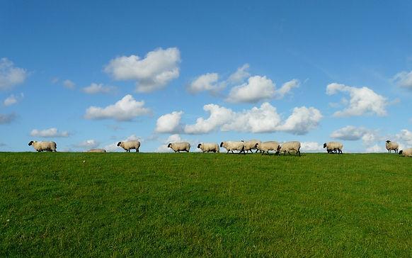 sheep-235873_1920.jpg