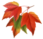 maple%20leaves_edited.png